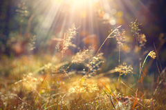 Autumn Grass With Morning Dew In Sunlight Closeup Stock Photo