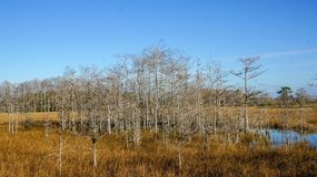 bare cypress trees in winter royalty free stock photo
