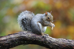Autumn Gray Squirrel stock photography