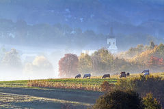 Autumn grazing in the early morning fog Royalty Free Stock Images