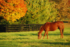 Autumn Grazing. A thoroughbred horse grazes in an open field in the fall Royalty Free Stock Images