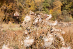Autumn Great Burdock Stockbilder