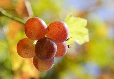 Autumn with great grape harvest Royalty Free Stock Images