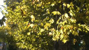 Autumn green beautiful maple tree with colorful leaves. stock video footage