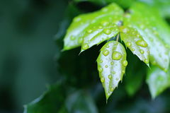 Autumn Green Leafs com gotas da água na madeira imagens de stock
