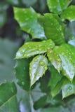 Autumn Green Leafs mit Wasser-Tropfen des Holzes Lizenzfreie Stockfotografie