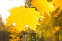 Golden autumn maple leaves in park as background. Selective focus. Fall pattern. Royalty Free Stock Photos