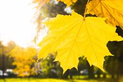Golden autumn maple leaves in park as background. Selective focus. Fall pattern. Stock Image