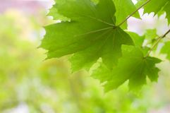 Autumn green maple leaves Stock Images