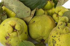 Autumn green quince. White background. royalty free stock photos
