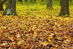 Autumn green-yellow forest Stock Photo