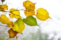 Autumn green and yellow  leaves. Autumn foliage in a city park. Some green and yellow  leaves on a black background Royalty Free Stock Image