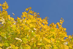 Autumn. Green and yellow maple leaves Royalty Free Stock Photography