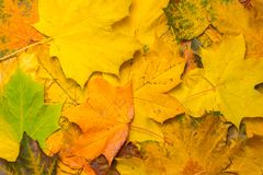 Autumn green, yellow, orange, red, brown maple leaves background concept image Stock Photo