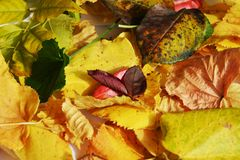 Autumn green yellow vivid colorful leaves. Winter natural image, close up Stock Photo