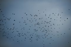 Autumn grey sky. Bad weather, dramatic view, depression, gothic style, mystery concept. Flock of birds flying on dark sky. Birds season migration. Lots of dark stock images