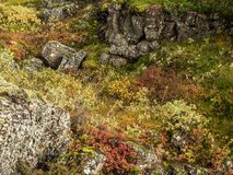 Autumn Ground Cover in Southwest Iceland Stock Images