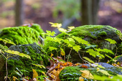 Autumn ground. Stones covered with moss in autumn forest Stock Photography