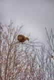 In autumn, grouse Lyrurus tetrix feed with buds Royalty Free Stock Photos