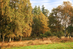 Autumn grove. Morning in forest – birchwood. Stock Photography