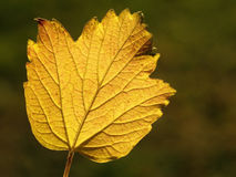 Autumn guelder-rose leaf Stock Image