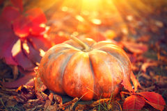 Autumn Halloween pumpkin. Orange pumpkin over nature background Royalty Free Stock Photos