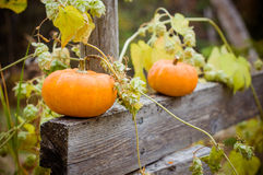 Autumn halloween pumpkins. On the wooden fence with hop Royalty Free Stock Photo