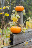 Autumn halloween pumpkins. On the wooden fence and hop Royalty Free Stock Images