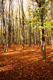 Autumn in hardwood forest. Group of hardwood trees with leafage on ground Stock Images