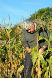 Autumn Harvest, collecting maize.