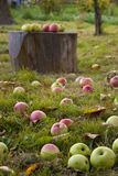 Autumn harvest. Apples lay on the ground Stock Images