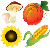 Autumn harvest. Harvest of pumpkin, mushrooms, sunflower and maize Stock Images