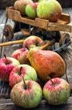 Autumn harvest apples Stock Image