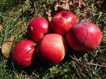 Autumn harvest of apples stock photo
