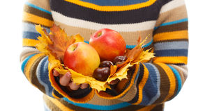 Autumn harvest. Apples, maple leaves and chestnuts holded in hands of woman in striped sweater Stock Images