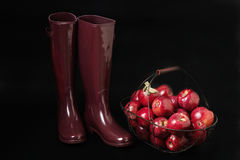 Autumn. The harvest of apples. Rubber boots Burgundy color on a. Black background royalty free stock photography