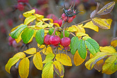 Autumn harvest of berries of wild rose hips. Royalty Free Stock Photography