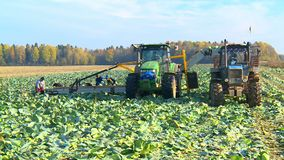Autumn harvest of cabbage on a farm field. stock footage