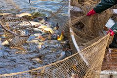 Autumn harvest of carps Stock Photo