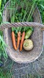 Autumn harvest carrots turnip cucumbers in a basket in the garden stock photography