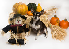 Autumn Harvest Chihuahua Royalty Free Stock Photography