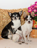Autumn Harvest Chihuahuas Arkivbilder