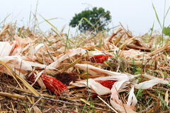 Autumn harvest of corn field with gold leaves and corn core Royalty Free Stock Photo