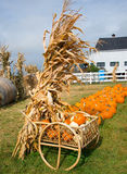 Autumn Harvest. Cornstalks and Pumpkins on the far Royalty Free Stock Photos