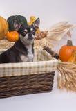 Autumn Harvest Dog stock image