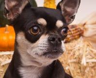 Autumn Harvest Dog Royalty Free Stock Photo