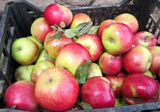 Autumn harvest of fruits, apples, nu ts collected in buckets and boxes. royalty free stock images
