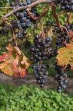 Autumn Harvest Grapevine Bunch Immagine Stock