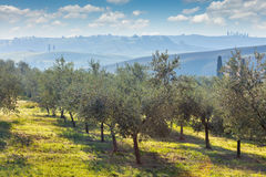 Autumn harvest landscape of Olive trees plantation Royalty Free Stock Image