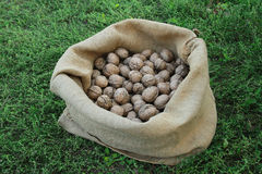 Autumn harvest. A linen bag with walnut stands on the grass Stock Photos